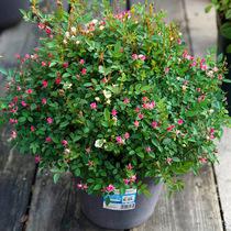 日本超微 新品种日本月季多季节重复开花办公室花园盆栽