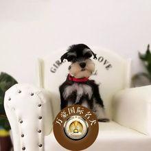 活体宠物狗黑银椒盐色 出售纯种雪纳瑞幼犬 迷你标准小体雪纳瑞图片