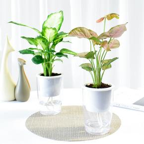 粉黛万年青室内水培懒人盆栽花卉绿色植物净化空气吸甲醛四季绿植