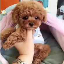 纯种泰迪贵宾哈士奇博美拉布拉多金毛萨摩耶巴哥犬幼犬宠物狗活体图片