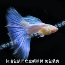 物体缎带蝶翼大C燕尾蓝白 纯种天空蓝白子火炬凤活 孔雀鱼包 免邮