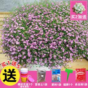 满天星种子雏菊薄荷迎春花卉种子四季花种含羞草矮牵牛波斯菊花籽