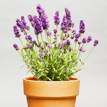 Imported Lavender Seeds Sow Easy-to-Seed Indoor Balcony Potted Flower Seeds and Flowers in Spring