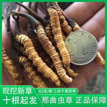 新鲜冬虫夏草0.5g根非玉树1支装 西藏那曲冬虫夏草正品 鲜虫草现挖