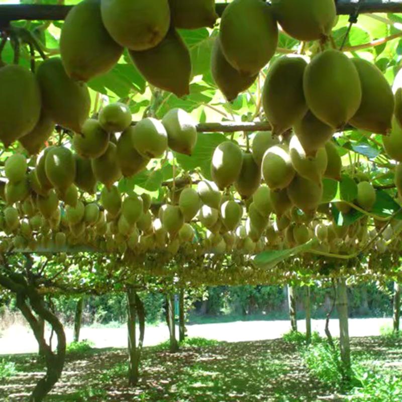 现摘四川蒲江红心猕猴桃新鲜红阳奇异果非绿心黄心泥猴桃五斤包邮