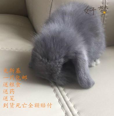 宠物兔子活体紫灰色垂耳兔盖脸猫猫兔纯种迷你侏儒兔包邮生日礼物