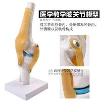 Human knee joint function model skeleton skeleton model teaching medical model off human body section model