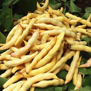东北油豆角种子黄金勾油豆角种子沟挤豆八月忙种籽四季播蔬菜包邮