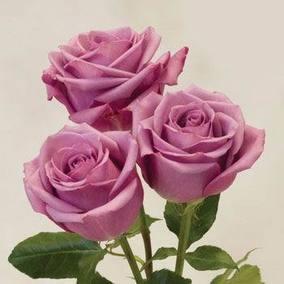 紫皇后*切花玫瑰月季苗/盆地栽/四季开花带土发货/包对版满包邮