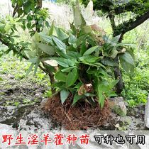Guizhou Wild Epimedium seedlings whole seedling herbal seedlings seed masturbation yang foliage spleen 500g premium