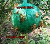 针蜂诱捕器 诱虫球 小实蝇诱捕球 粘虫球 诱球 柑橘大实蝇诱蝇球