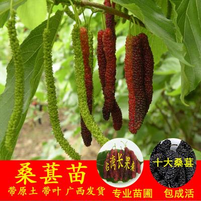 庭院庭院盆栽地栽台湾四季长果桑水果桑树十大果桑葚树苗当年结果