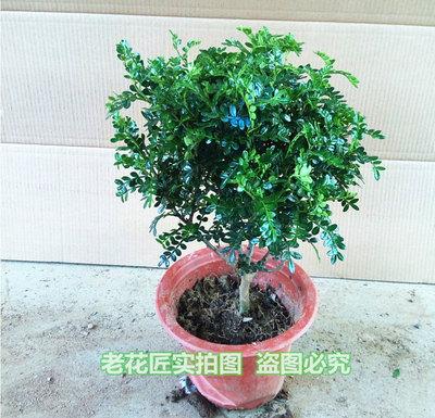 室内高档盆栽 清香木盆景 四季长青 谈谈清香 驱蚊虫 陶冶性情