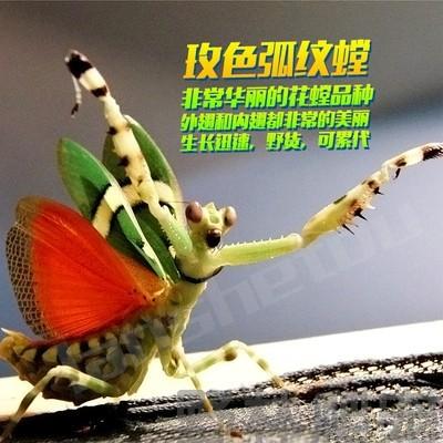螳螂活体幽灵螳螂活体螳螂宠物活体螳螂爬宠包邮包风险可分公母