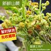 野生新鲜蕨菜龙头菜