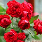 红龙藤本月季花苗蔷薇花 红色龙沙宝石月季 阳台盆栽绿植月季玫瑰