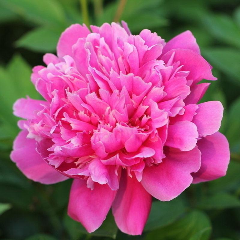 发3个芍药花苗种根 室内庭院盆栽花卉观花植物办公室赛牡丹玫瑰