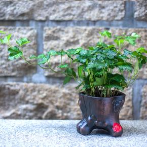 常春藤 万年青 办公室内桌面小盆栽 绿色植物创意绿植花卉包邮