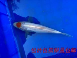 锦鲤鱼苗活体红白大正昭和白写三色龙凤渔场批发打折限时包邮