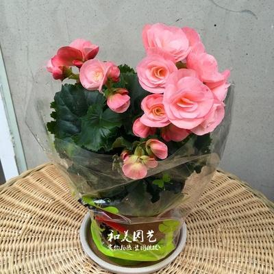 年宵花卉 丽格海棠大苗 四季海棠 玫瑰海棠 海棠盆栽花卉