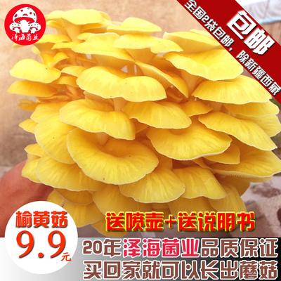 食用蘑菇黄金菇菌棒菌包菌种榆黄蘑包邮家庭种植榆黄菇泽海菌业