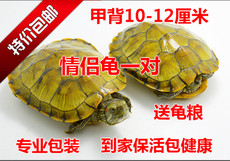 Chinese flower turtle turtle live pearl turtle outer pond longevity