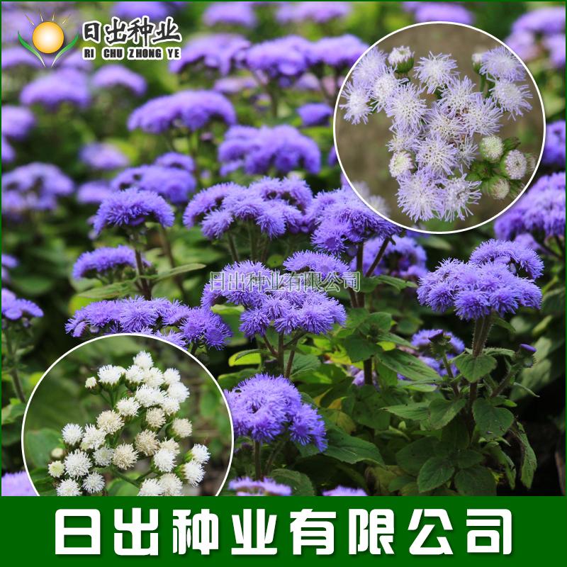 霍香蓟 藿香 蓝冠藿香蓟 蓝蓟种子花种子盆栽四季播易种植物