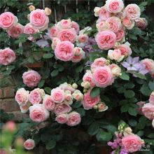粉色龙沙宝石欧月藤本月季室外庭院植物大苗盆栽 花园 海蒂