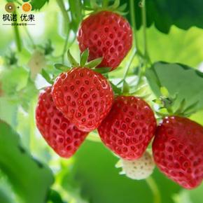 草莓苗 庭院地栽阳台盆栽蔬果 南北适宜水果树苗 菠萝莓 当年结果
