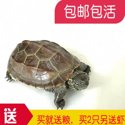 乌龟活体 中华草龟外塘草龟小观赏龟水龟金线龟宠物小乌龟包邮