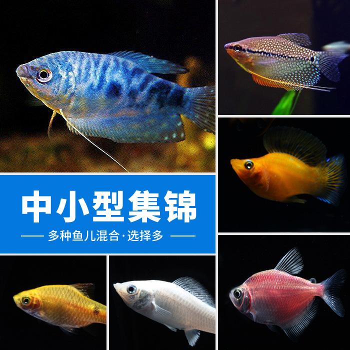 曼龙马甲彩裙米奇胎生鱼金银黑皮球玛丽热带观赏鱼宠物鱼活体图片