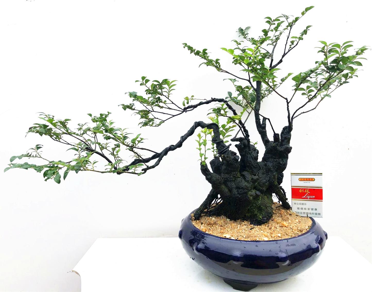 Комнатные растения Артикул 581867686049