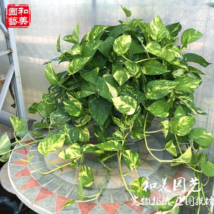 Комнатные растения Артикул 575329088354