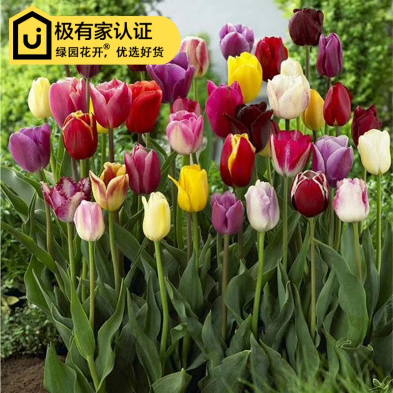 Цветочные луковицы Артикул 597616508181