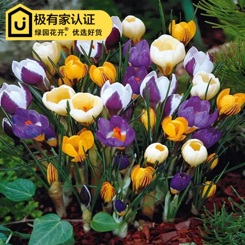 Цветочные луковицы Артикул 598214491605