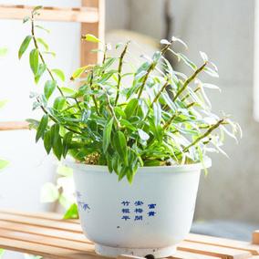 铁皮石斛苗  铁皮枫斗苗  一斤500g  包邮  石斛花苗  盆栽绿植