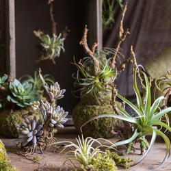【掬涵】空气凤梨多肉植物树根吊饰仿真垂吊绿植壁挂摆件设计空间