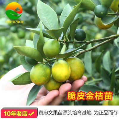 金桔苗金桔盆栽脆皮金桔苗食用四季结果嫁接橘子苗滑皮金桔子树苗