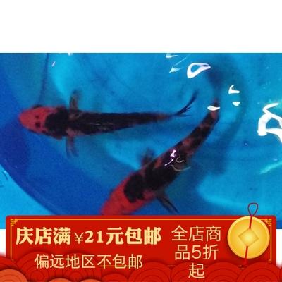 纯种金鱼锦鲤鱼活体鱼苗白金乌金黄金蝴蝶龙鲤龙凤孔雀邱翠49包邮