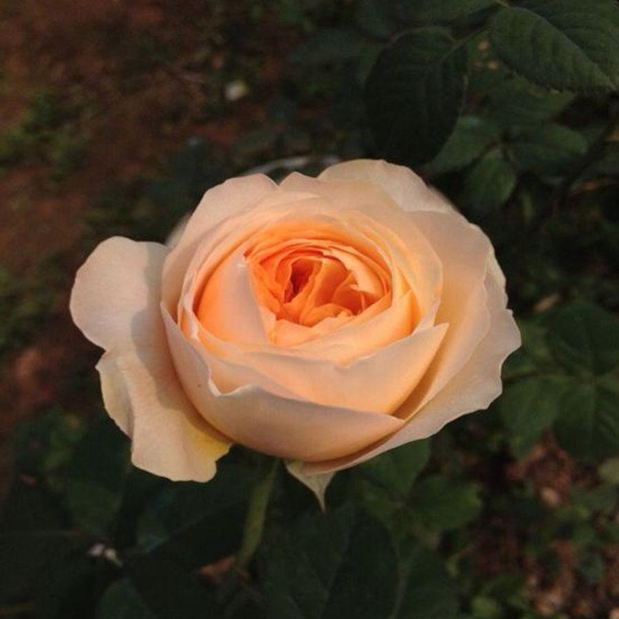 天心月季园欧月  朱丽叶  切花大花月季花卉盆载四季玫瑰花苗花卉