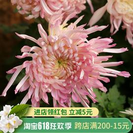 东篱园艺多款稀有食用菊花阳台盆栽庭院耐热耐寒多年生花卉植物图片