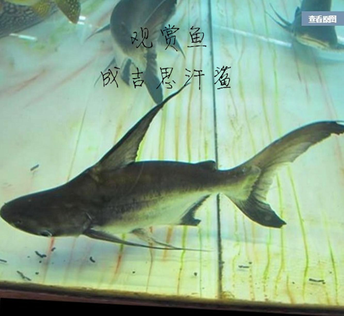 热带鱼观赏鱼中大型凶猛大白鲨淡水宠物成吉思汗鲨虎鲨小鲨鱼活体