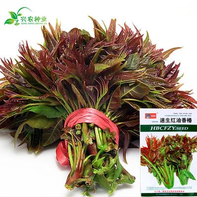 蔬菜种子 红油香椿种子 营养速生 四季播包邮 易种庭院阳台盆栽