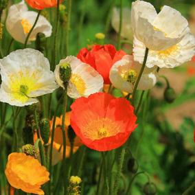 虞美人种子室内阳台盆栽植物景观花海庭院冰岛虞美人花种子花籽