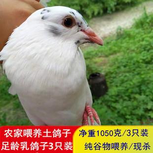 农家散养鸽子乳鸽子土鸽子新鲜鸽子肉笨鸽子非老鸽子现杀顺丰3只