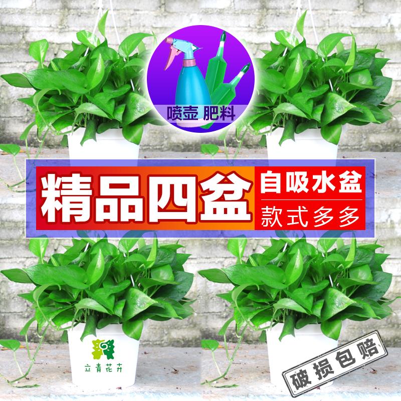 绿萝盆栽室内花卉绿箩绿植吊兰水培吸除甲醛净化空气观花植物包邮