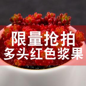 非凡园艺 红色浆果多肉群生多头 室内花卉盆栽 多肉植物 客厅绿植