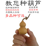 natural heavy hand twist small gourd balcony viewing the gourd seeds gourd seed grass plants gold