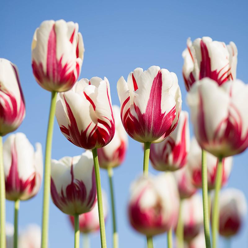 Цветочные луковицы Артикул 598876269141