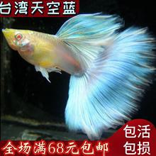 孔雀鱼纯种蓝白缎带蝶翼大C种鱼天空蓝燕尾白子孔雀鱼火炬鱼凤尾